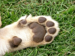 paw pad injury